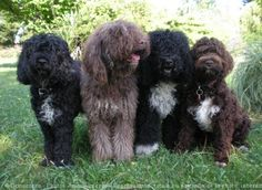 Very rare Barbet (French Water Dog) - The Barbet's personality is described as companionable, joyful, obedient, and intelligent.They are quick to learn.They are a great with children, families, and the elderly. Barbet will bond with their family.