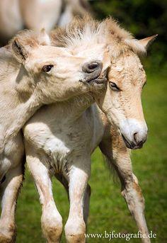 Süß!!! Fohlen von Norwegischen Fjordpferden