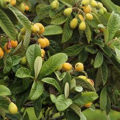Loquat: A Powerful Antihistamine For Histamine Intolerance Japanese Plum Tree, Vitamin C Supplement, Mast Cell, Vagus Nerve, How To Make Tea, How To Relieve Stress, Real Food Recipes, Fruit