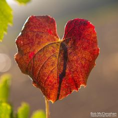 I  Fall  #visitnapavalley by bobmc