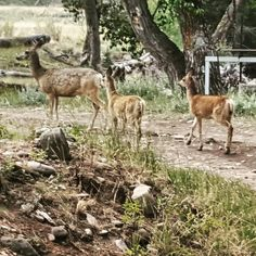 A doe and two fawns pass through The Ranch at Rock Creek in Philipsburg, Montana. Spring is an excellent time to view young wildlife on this 6,600-acre luxury guest ranch. | The Ranch at Rock Creek, Philipsburg, Montana || The World's Only Forbes Travel Guide Five-Star Ranch