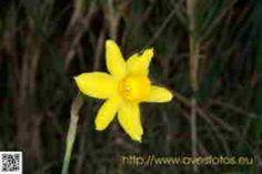 Flores. Foto de una flor amarilla de junquillo de olor o narciso de rio. Narcissus jonquilla
