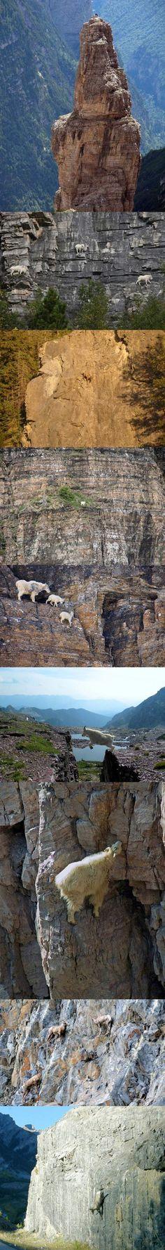 Goats climbing mountains