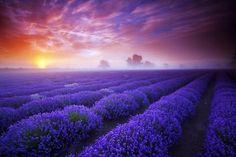 Lavender blue - Fields Wallpaper 409044 - Desktop Nexus Nature