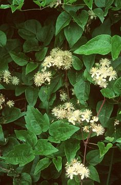 Erdei iszalag (Clematis vitalba, Ranunculaceae) (Seregélyes Tibor felvétele)