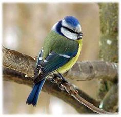 Blåmes - Blue Tit - birds in Sweden
