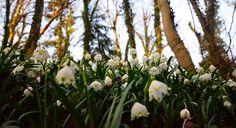 Nicht verpassen: Märzenbecherblüte im Naturpark Obere Donau