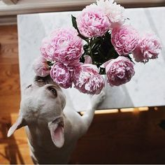 #flowers #frenchbulldogge