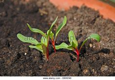Swiss Chard (Bright Lights) seedlings, Andalucia, Spain, Western Europe. - Stock Image