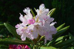 Hempeä on St. Michael | Vesan viherpiperryskuvat – puutarha kukkii