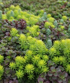 Few plants are as versatile as drought-tolerant, ground-covering sedum. There's a range of colors available; we've planted them together in our new Drop and Grow Sedum Tiles to make planting as easy as placing the sedum on the ground and watering it in! Plants, Sedum Garden, Backyard Pool Landscaping, Sedum Plant, Outdoor Plants, Unusual Plants, Sedum Ground Cover, Shade Garden Plants, Planting Succulents