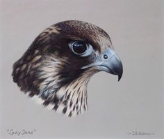"Headstudy of ""Lady Jane"" juv.peregrine falcon Gouache J. Bird Drawings, Pencil Art Drawings, Animal Drawings, Color Pencil Sketch, Colored Pencil Artwork, Peregrine Falcon, Bird Illustration, Birds Of Prey, Bird Art"