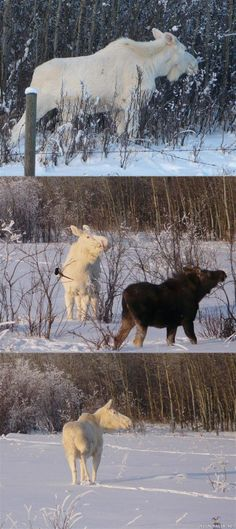Moose in Finland | Albiino hirvi- albino moose from Finland. Don't know who has taken ...