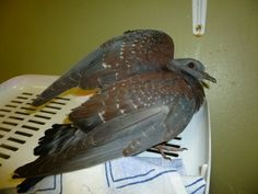 Admission Date: Ref: This Rock pigeon was found in Keurbooms as he flew into a window. He was admitted into Tenikwa with a slight concussion as well as a fracture. We strapped his wing and responding well to treatment. List Of Animals, Pigeon, Wildlife, Window, Rock, Windows, Skirt, Locks, Rock Music