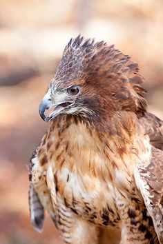 Red Tailed Hawk, Buteo Jamaicensis, lives on all continents except for Anarctica, prefers forests, eats rodents and amiphibians, is about 24 inches long and also eats rattlesnakes and copperheads.