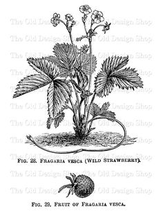 Wild Strawberry Fragaria Vesca Printable by TheOldDesignShop
