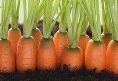 Опытные огородники знают, что всхожесть семян моркови невелика, всего 45–50%.То есть из 10 штук лишь 5 дают ростки, которые приходится ждать чуть ли не месяц. Однако мы можем увеличить этот процент и …