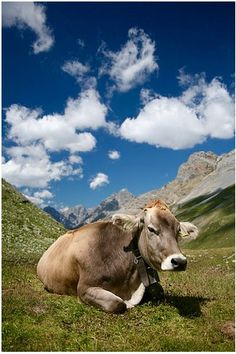BRAUNVIEH CATTLE ORIGINATED: Switzerland. USE: Milk. Beef. NOTES: Docile and easy to work with. Braunvieh cattle imported to the United States in the 19th century were the origin of the modern Brown Swiss cattle breed, though the American breed differs from them today.