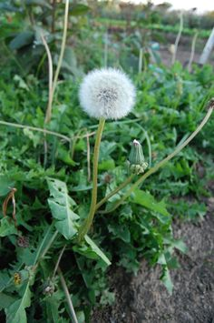 True (or common) dandelion (Taraxacum officinale), woefully maligned by lawn care enthusiasts and widely understood as an invasive weed, is actually an outstanding human plant ally. Dandelion's leaves