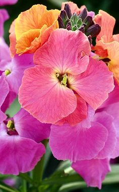 Wallflowers...picked some today and the scent is beautiful.......~~Erysimum WINTER™ Sorbet Improved | Pacific~~
