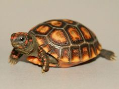Cherry Head Red Footed Tortoise