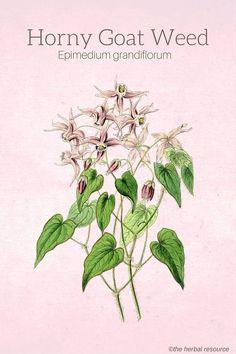 Horny Goat Weed (Epimedium grandiflorum)