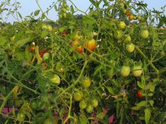 Discover the best plants for your very own backyard vegetable garden. Check out our article that shows you the easiest plants to get started. Growing Tomatoes Indoors, Growing Tomatoes In Containers, Grow Tomatoes, Backyard Vegetable Gardens, Tomato Garden, Garden Yard Ideas, Garden Landscaping, Best Tasting Tomatoes, Tomato Farming