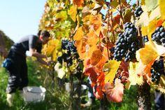 Die Weinlese startet heuer in Österreich auf Grund des heißen Sommers besonders früh. Warum zur Abwechslung nicht mal selbst mithelfen? In fast allen österreichischen Weinbaugebieten möglich!
