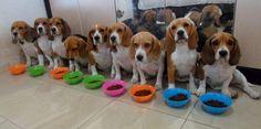 Beagles in a row