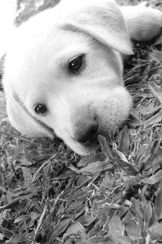 Little cute labrador puppy.