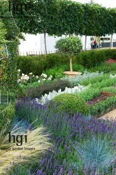 Harpur Garden Images ::RHS Hampton Court Palace Flower Show 2009 pleached Carpinus Hornbeam herb garden Lavender Lavandula willow edging paths fence tree seat Olea Olive 09hcp270 pleached,