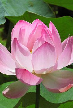 #Pink #Lotus #Bloom by BluedarkArt on #Redbubble http://www.redbubble.com/people/bluedarkart/works/10140348-pink-lotus-bloom