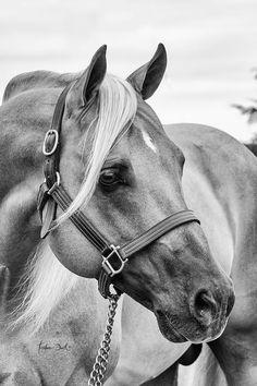 Black and white photo of a Palomino Arab. Horse Pencil Drawing, Horse Drawings, Animal Drawings, Cute Horses, Pretty Horses, Horse Love, Black Horses, Wild Horses, Most Beautiful Horses