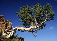 Ficus Glumosa - African Rock Fig
