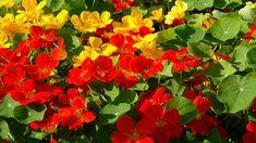Nasturtium, Herbs, Plants, Garden