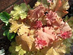 displaying some nice Autumn colours Heuchera, Autumn Colours, Plants Online, Evergreen, Nice, Garden, Garten, Lawn And Garden, Gardening