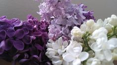 Lilac Flowers – an Edible and Medicinal Treat « Feral . Lilac Flowers, Edible Flowers, Jasmine Essential Oil, Organic Fruits And Vegetables, Syringa, Herbal Magic, Spring Sign, Flower Oil, Medicinal Herbs