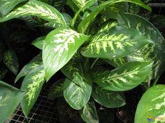 Découvrez le dieffenbachia !  http://blog.orion-dressings.com/le-dieffenbachia-une-plante-tropicale-pres-de-votre-dressing-sur-mesure.htm