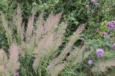Argentinisches Eisenkraut (Verbena bonariensis) und Diamant-Reitgras (Calamagrostis brachytricha) / Purpletop vervain (Verbena bonariensis) and korean feather reed grass (Calamagrostis brachytricha)
