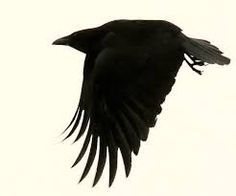 crow images - Google Search