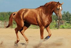 Budyonny horse. Created from the Russian Don by the horse breeder and cavalry commander for which it's named, this is a beautiful sport horse from Russia.