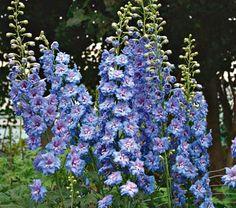 """Delphinium elatum Blue Lace  Common Name: Delphinium  Hardiness Zone:  3-7 S / 3-10 W  Height: 5-6'  Exposure: Full Sun  Blooms In: June  Spacing: 18-24"""""""