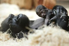 The Prague Zoo received a very special Christmas present this year: Western Lowland Gorilla Kijivu delivered a healthy baby boy on December 22, just a few months after another of her offspring died in a freak accident. The baby's delivery...