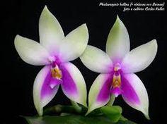 Billedresultat for phalaenopsis