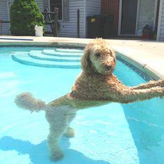 funny posing pool labradoodle