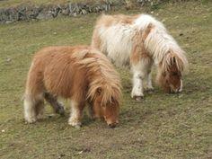 miniature shetland ponies - about as thelwell as you can get! Mini Shetland Pony, Miniature Shetland Pony, Miniature Ponies, Shetland Ponies, Cute Baby Horses, Tiny Horses, Poney Miniature, Beautiful Horses, Animals Beautiful