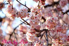 あー今日もたくさんやることあって疲れました。 桜は満開でした。 また見に行きたいな。 この忙しさが落ち着いてからかな。 今日はもう寝ます。 おやすみなさい。 by 愛花姫20