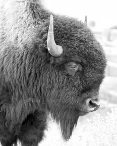 South Dakota Buffalo Portrait black white www.barlcorral/photography