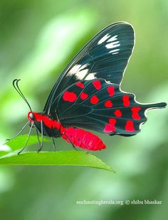 Crimson-Rose - Pachliopta hector - [This one is a male, showing the underside], is a large swallow-tail butterfly found in India and Sri Lanka and possibly the coast of western Myanmar