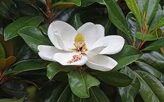 Magnolia grandiflora - Beautiful landscaping for any home, including mine. We have a two stories tall Magnolia at our house.